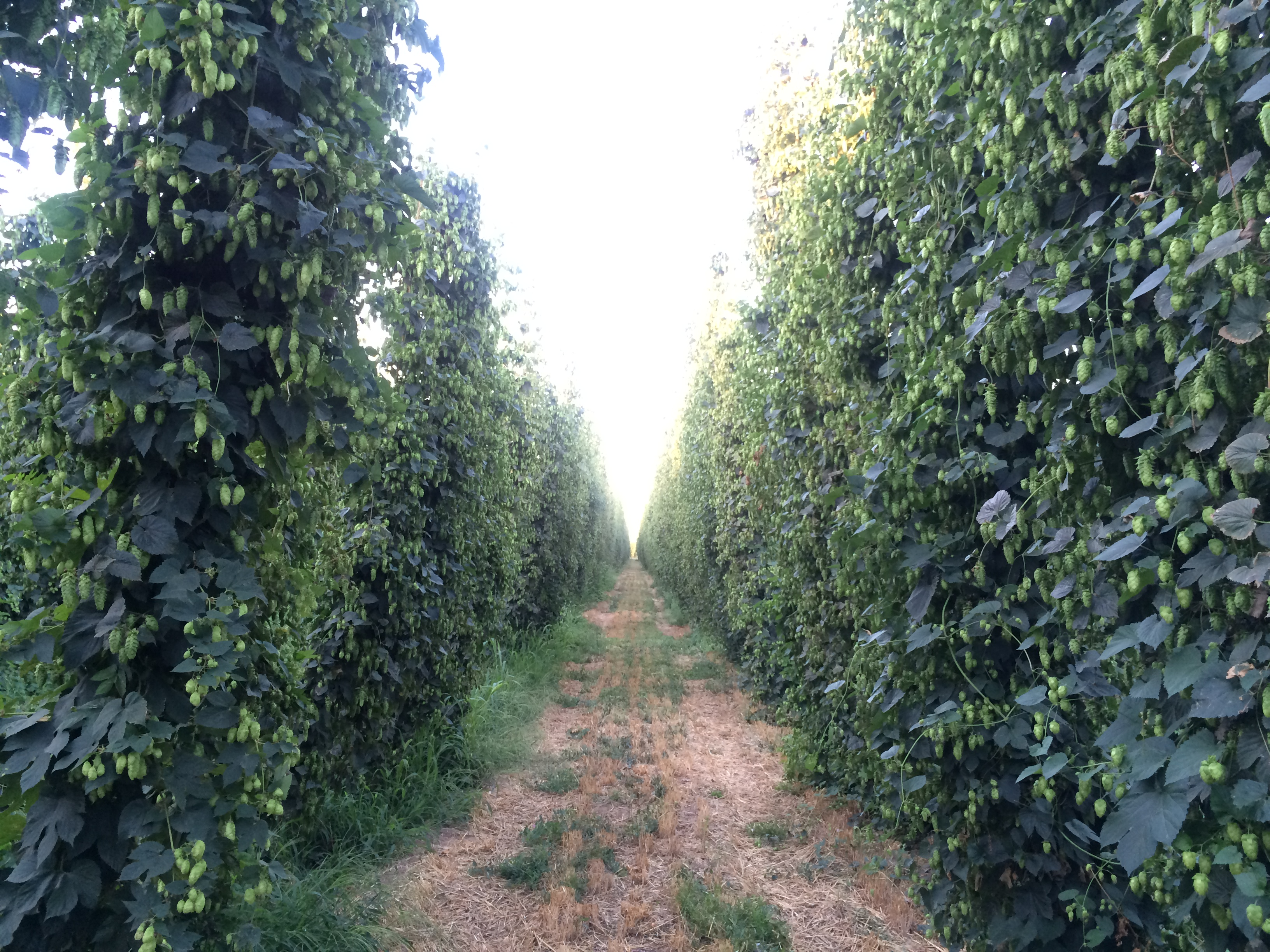 Hops grow well in the Yakima Valley thanks to irrigation from the forests of the Cascade Mountains and the rich soil and sun in central Washington State. Photo by Heather Hadsel
